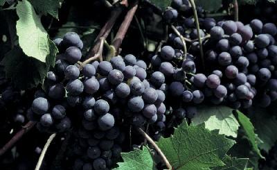 Festa dell 39 uva adelfia bari puglia et mores vacanze for Sud arredi adelfia